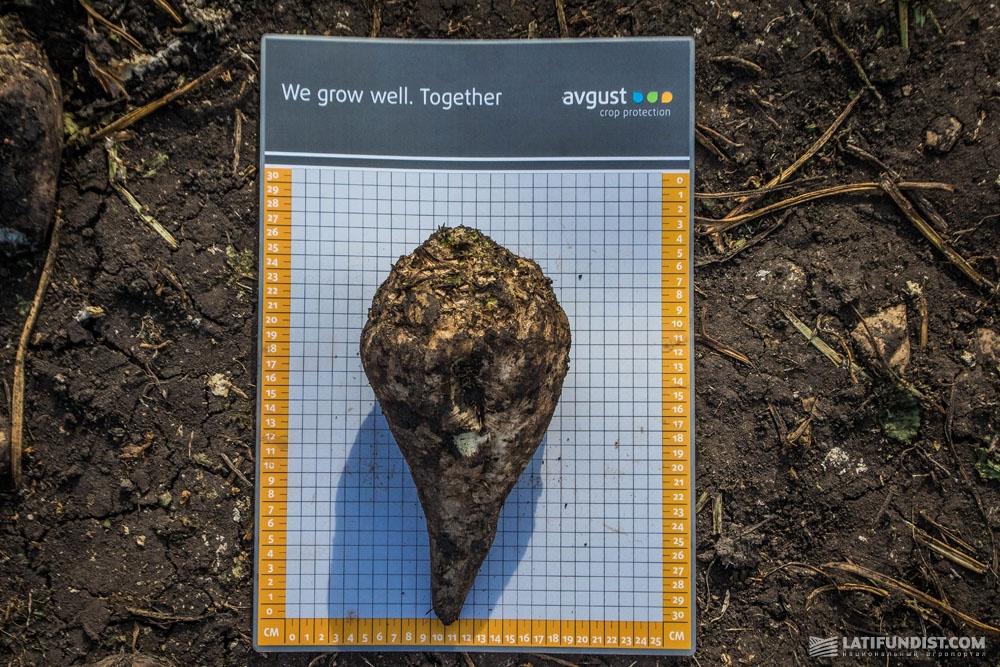 Корнеплод сахарной свеклы на полях предприятия «Андреевка»